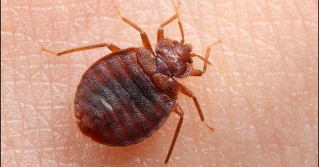 How To Treat Bed Bugs Rid Of Bed Bugs Bed Bug Control Bed