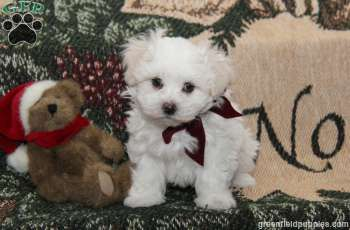 Andy Maltese Puppy For Sale From Ephrata Pa Maltese Puppy