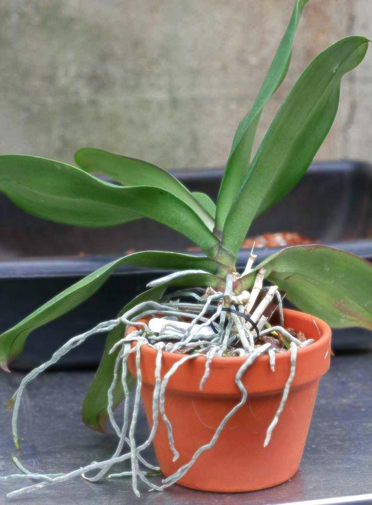 Cómo Reproducir Orquídeas En Casa Fácilmente Keikis Esquejes Y Bulbos Macetas Para Orquideas Fertilizante Para Orquideas Cultivo De Orquídeas