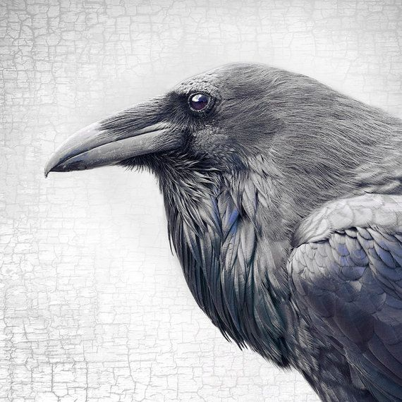 Magnificent and Dignified Raven Profile by junehunter