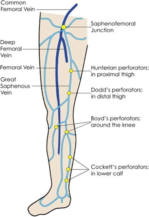 Image Result For Lower Extremity Venous Anatomy Vascular