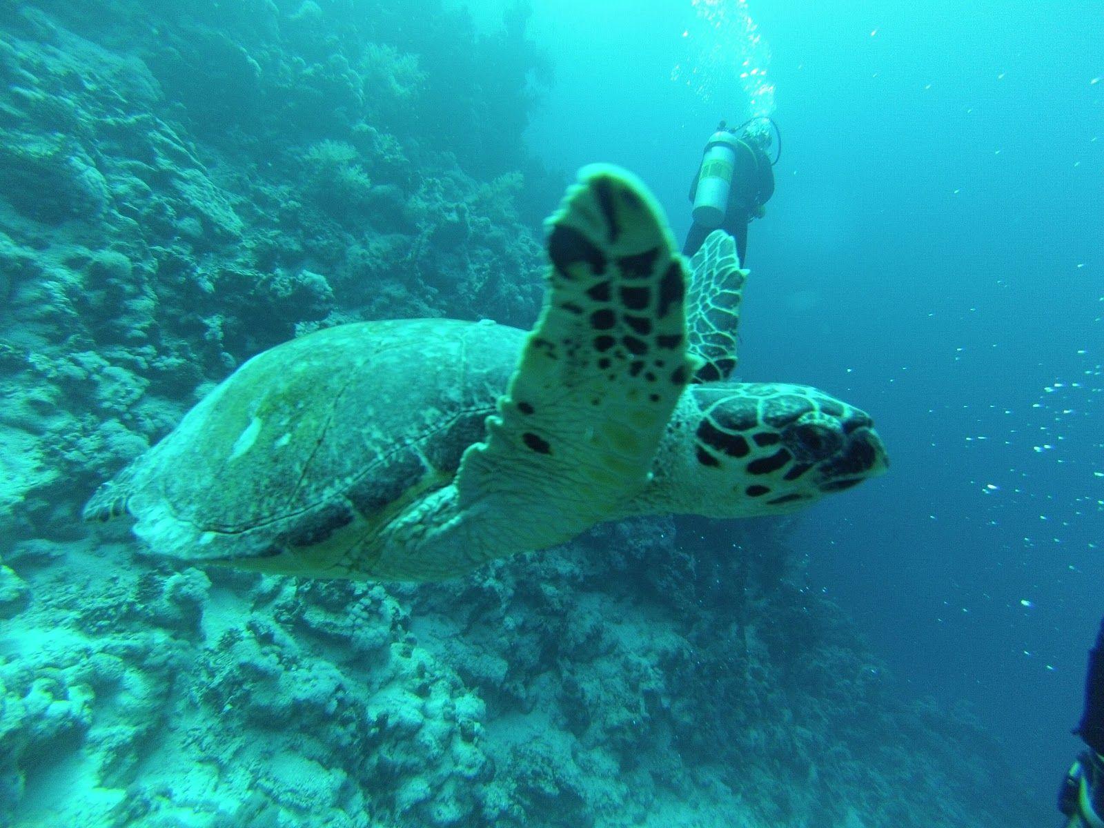 Sea Turtle   Tartaruga Marina