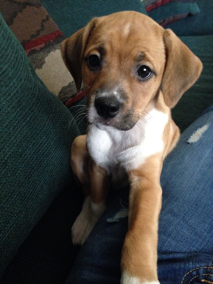 6 Weeks Beagle Pitbull Mastiff Mix Puppy Pitbull Mastiff Mix