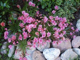 Levisia kukkii pitkään. Se kannattaa istuttaa läpäisevään kohopenkkiin ja vielä soraa kasvin tyvelle