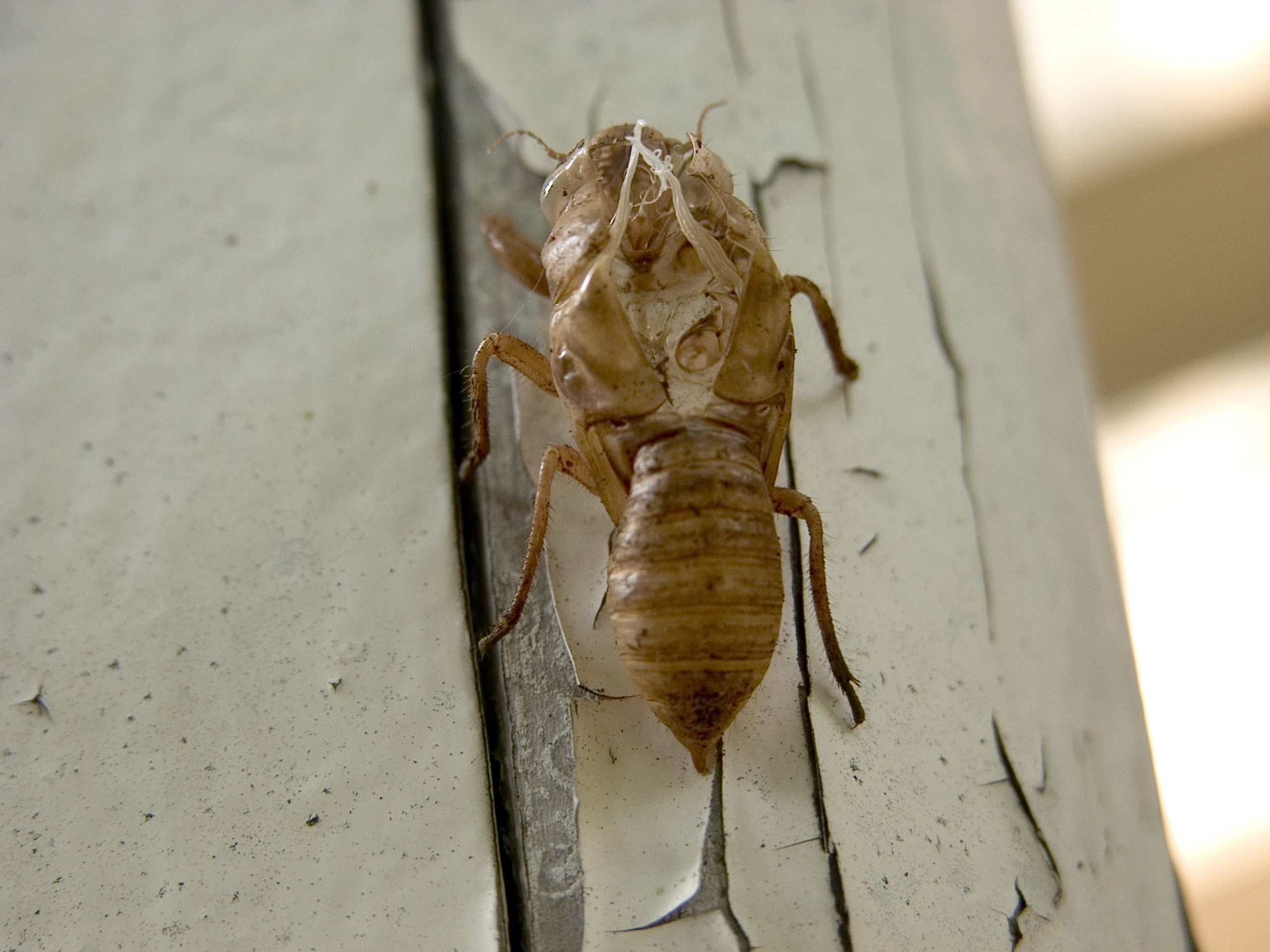 A cicada skin shell once it's been shed | Ep36: Kathleen ...