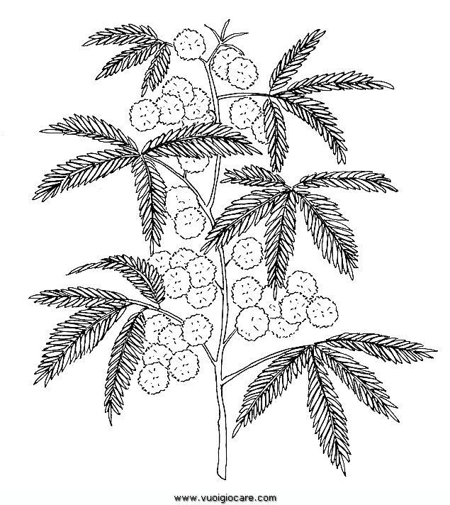 Mimosa Disegni Da Colorare Disegni E Schemi Pinterest