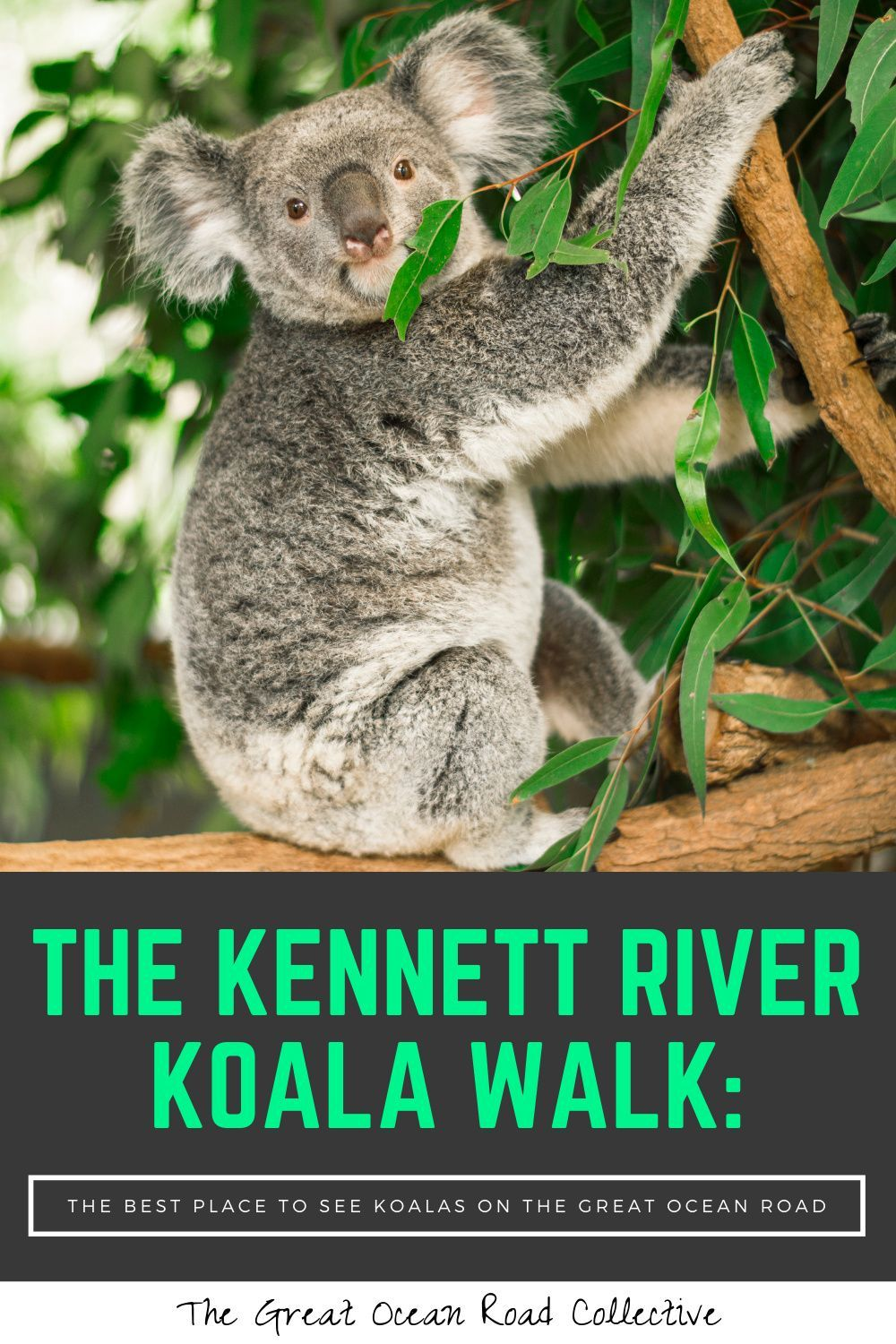 The Kennett River Koala Walk The Best Place To See Koalas On The Great Ocean Road Australian Road Trip Places To See World Travel Guide