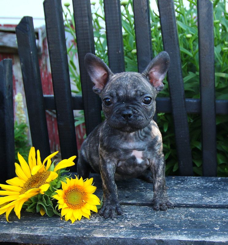 French Bulldogs Are Intelligent But Stubborn – Like Your Coworkers