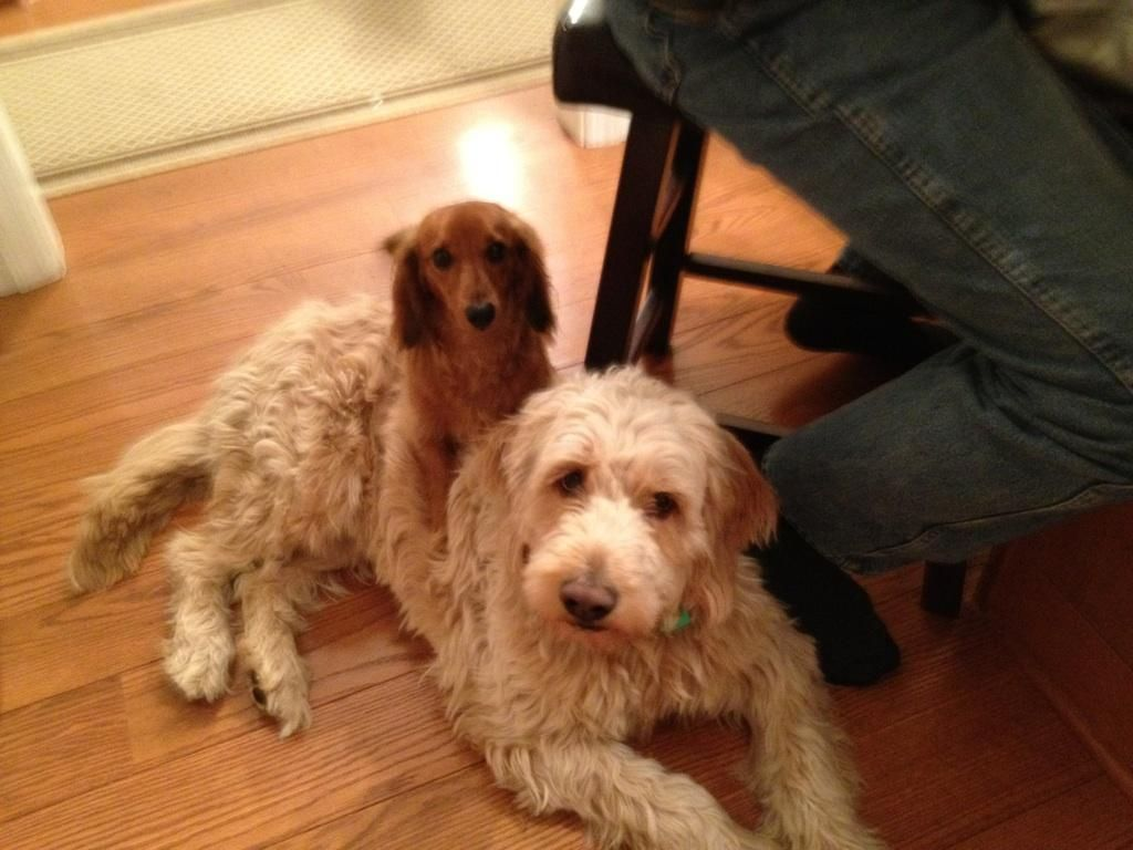 The Odd Couple Best Friends Goldendoodle And Dachshund Goldendoodle Dachshund Odd Couples