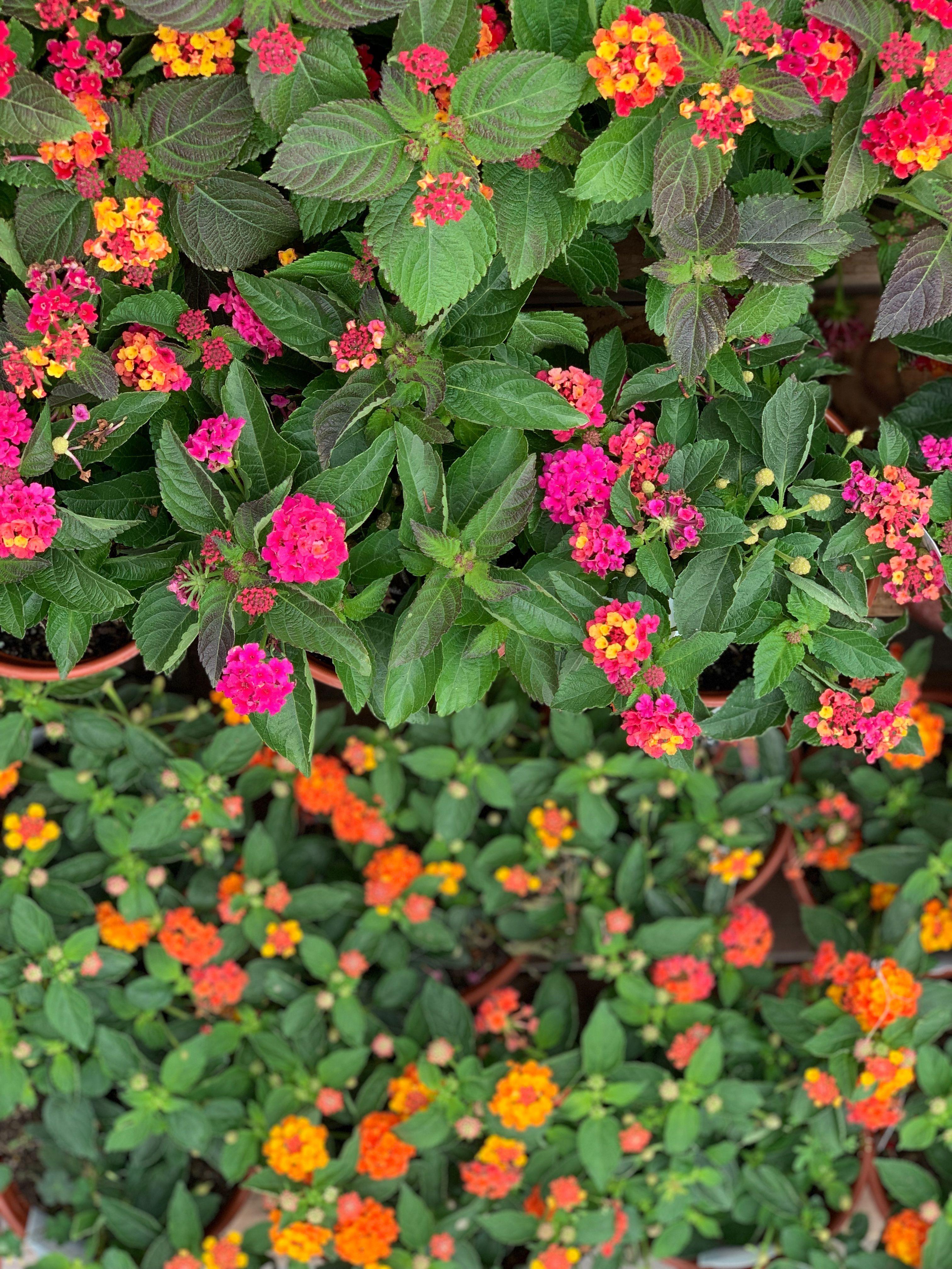Lantana Lantana Spring Plants Showy Flowers