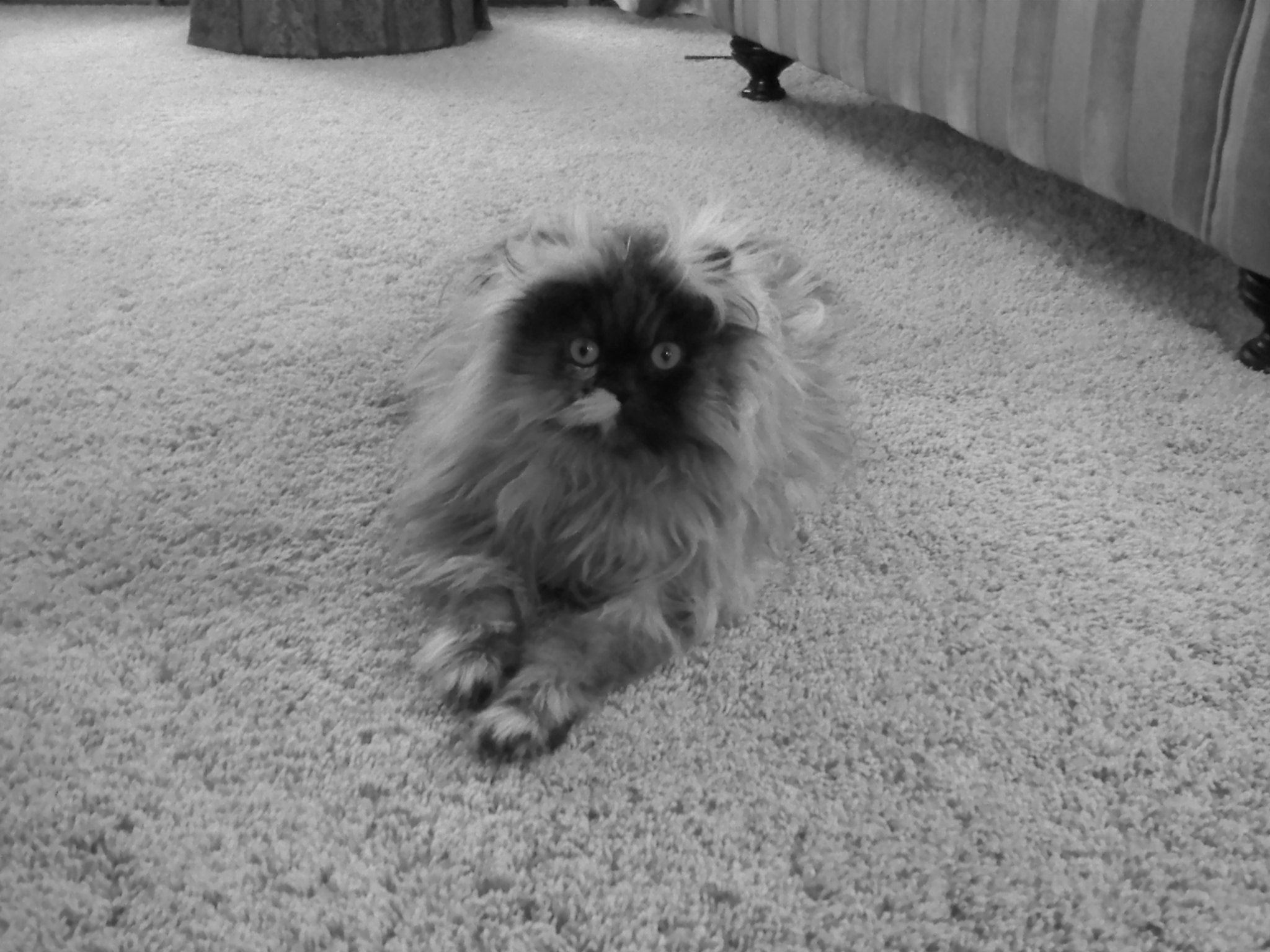 Sushi Persian Cat (RIP) Persian cat, Cats, Furry friend