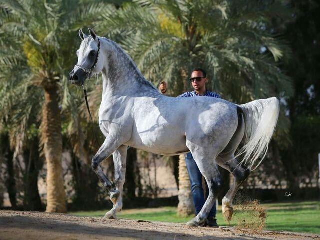 Ajmal Talal Sinan Al Rayyan X Ansata Samari Beautiful Horses Horses Arabian Horse