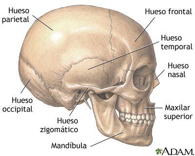 Craneo Medlineplus Enciclopedia Medica Illustracion Skull Anatomy Human Anatomy And Physiology Skull