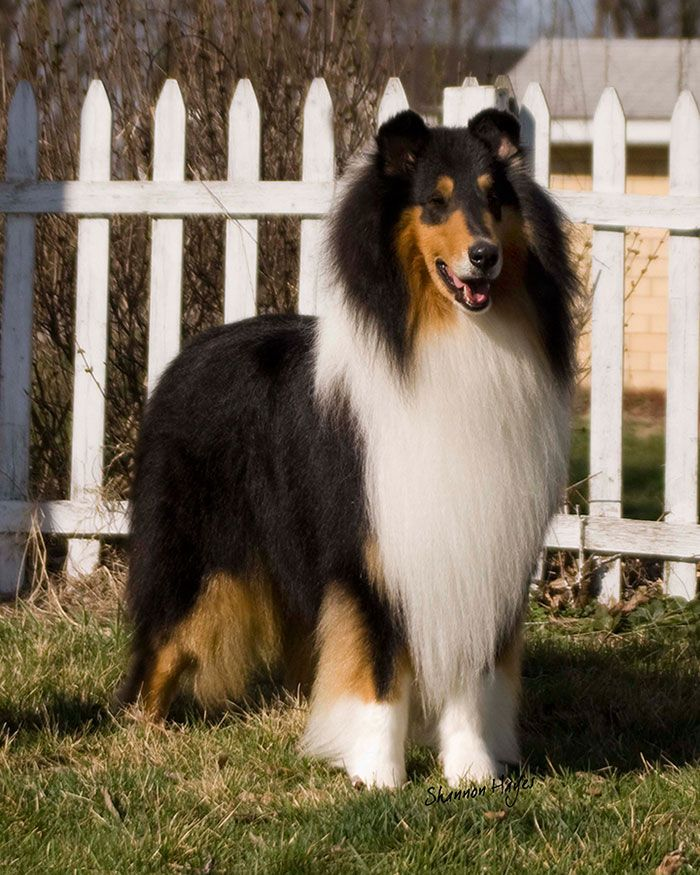 Collie Club Of America Homepage Collieclubofamerica Org Rough
