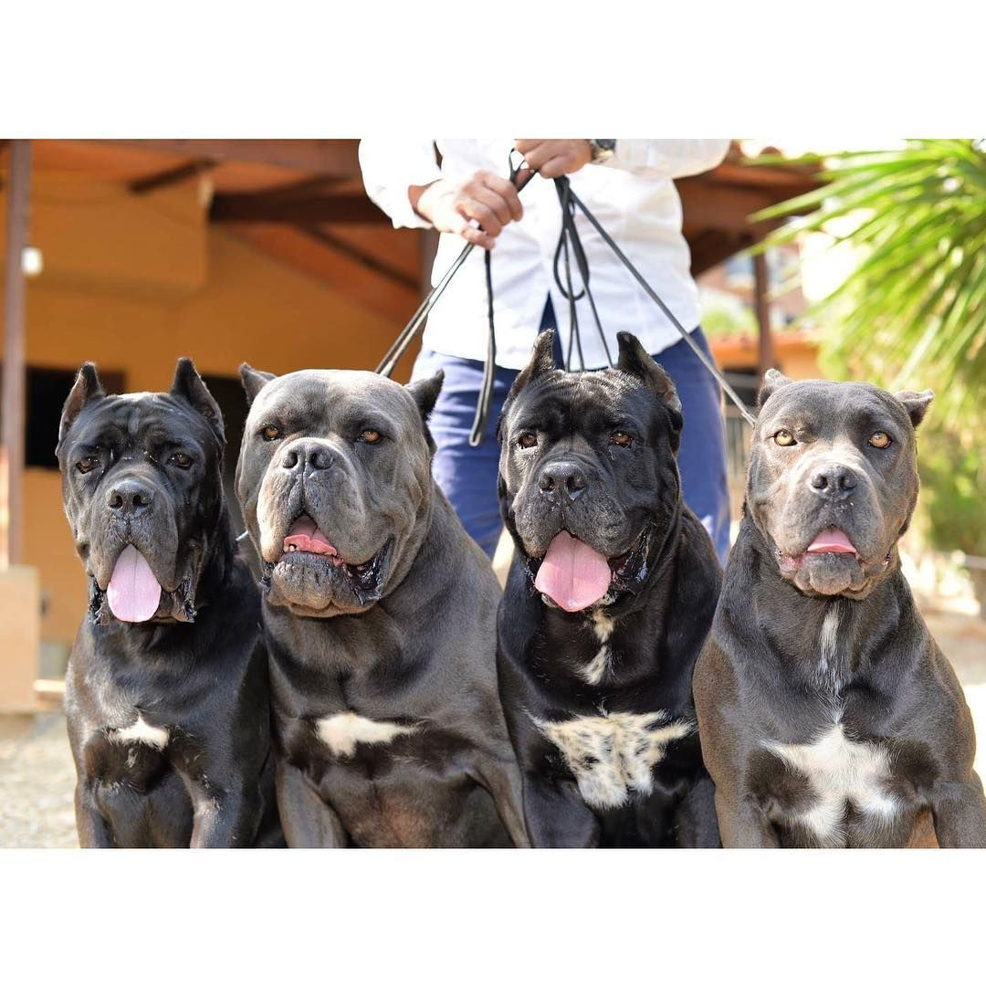 Corsos De X Man Make You Life With Passion Put A Cane Corso In Your Life The Best Corsos De X Man Make You Life With Cane Corso Cane Corso Dog Corso Dog