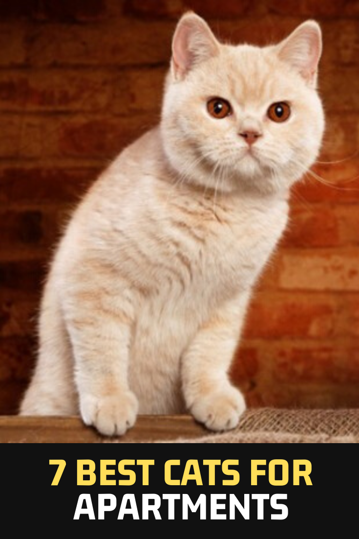 7 Best Cats For Apartments Cats Cat Pets In 2020 Cats