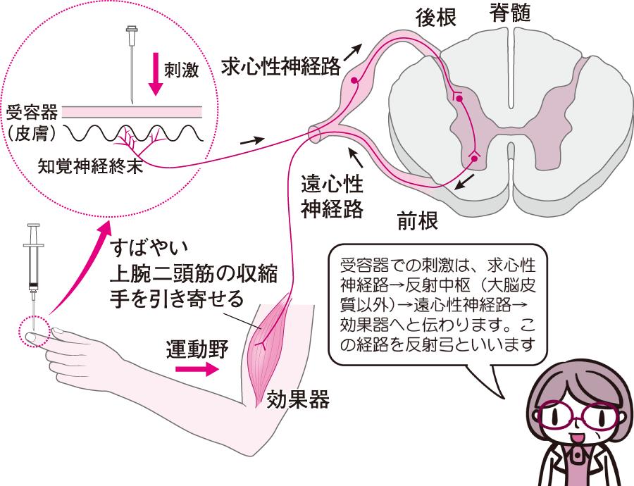 脊髄 反射 と は