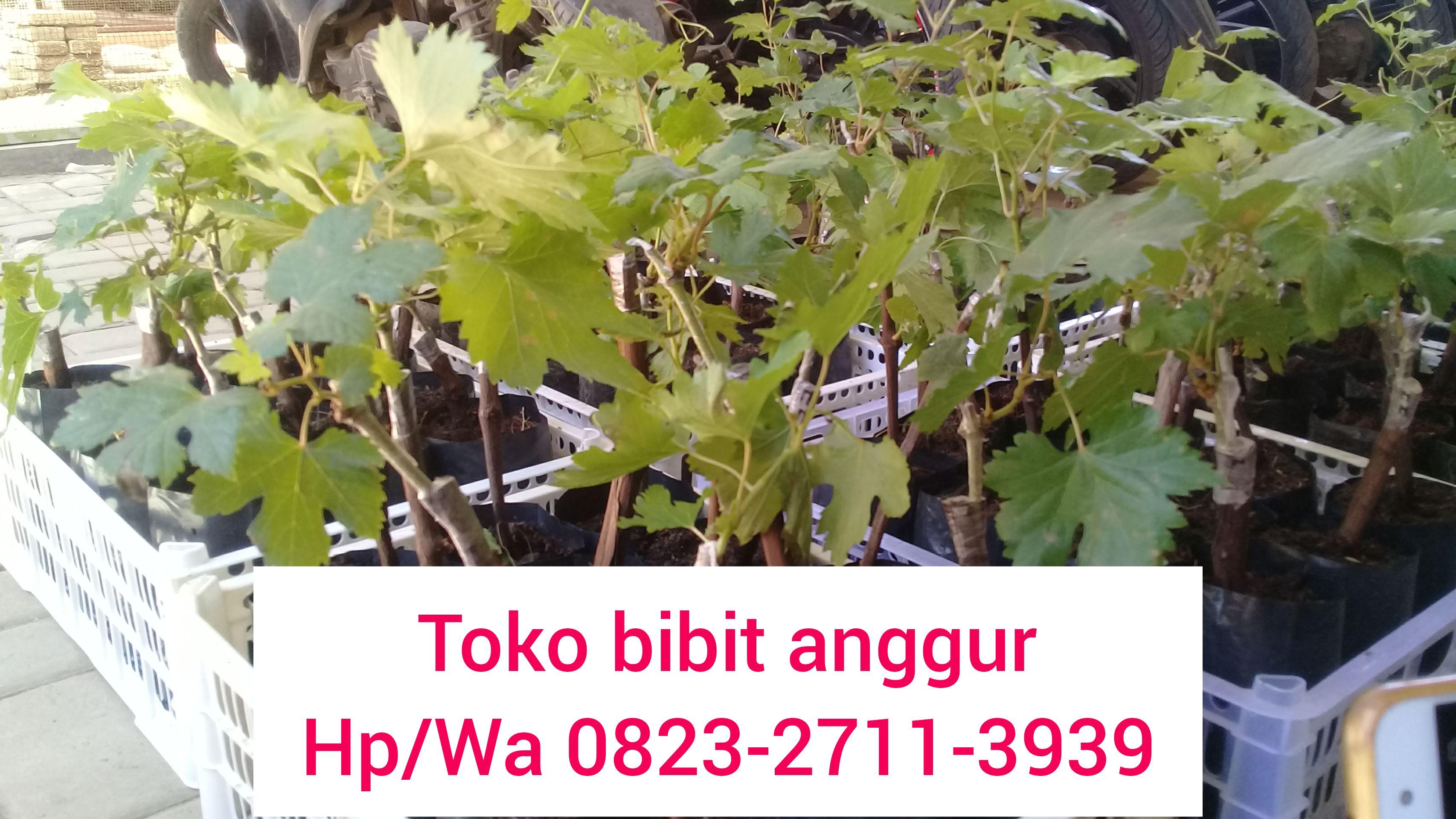 Kebun Anggur Di Jawa Tengah