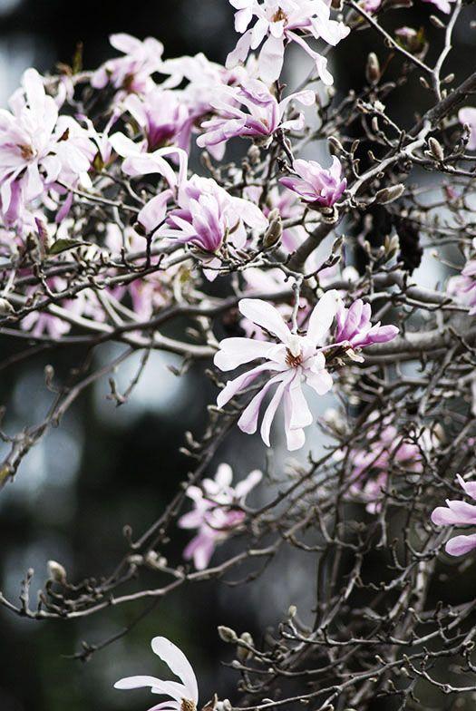 Magnolia Stellata Leonard Messel Magnolia Tradgard Perenner
