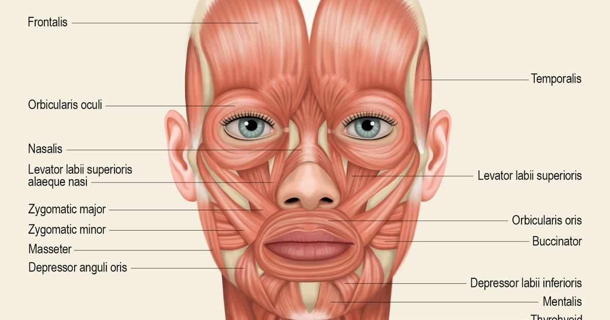 Image Result For Face Muscles Anatomy Pinterest Anatomy