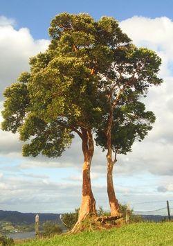 Arrayan luma apiculata trees birds pinterest for Arboles perennes en argentina