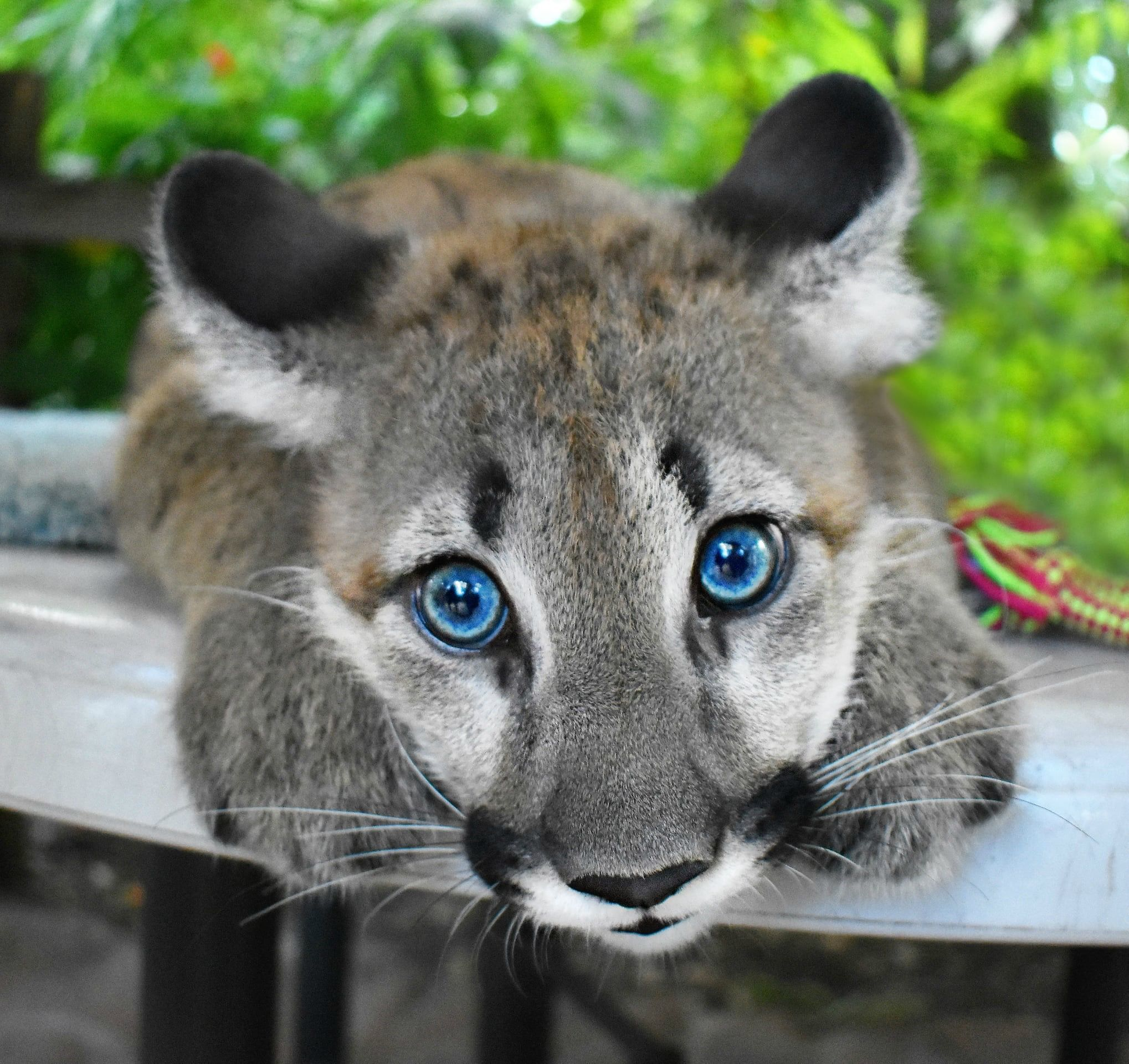 Best Cat Urday Would Be Coming To Meet Me Dcwildthings Panther
