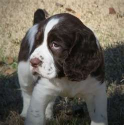 Image Search Results For Springer Spaniel Dogs Springer Spaniel English Springer Spaniel Spaniel Dog