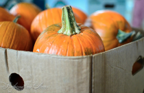 Preserving Pumpin & Winter Squash