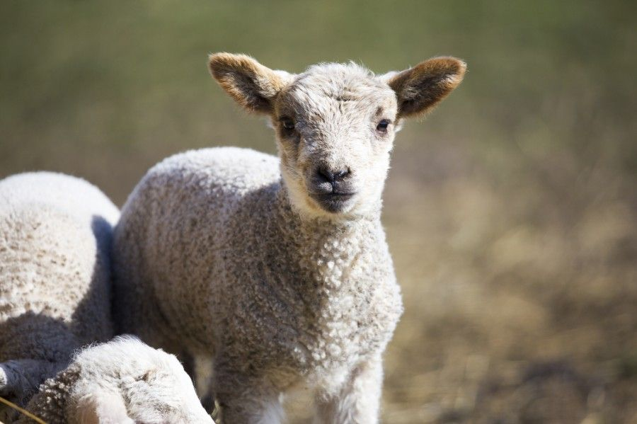 Sheep Farming - Choose The Type of Sheep Breeds That Will Be Most Suitable For You