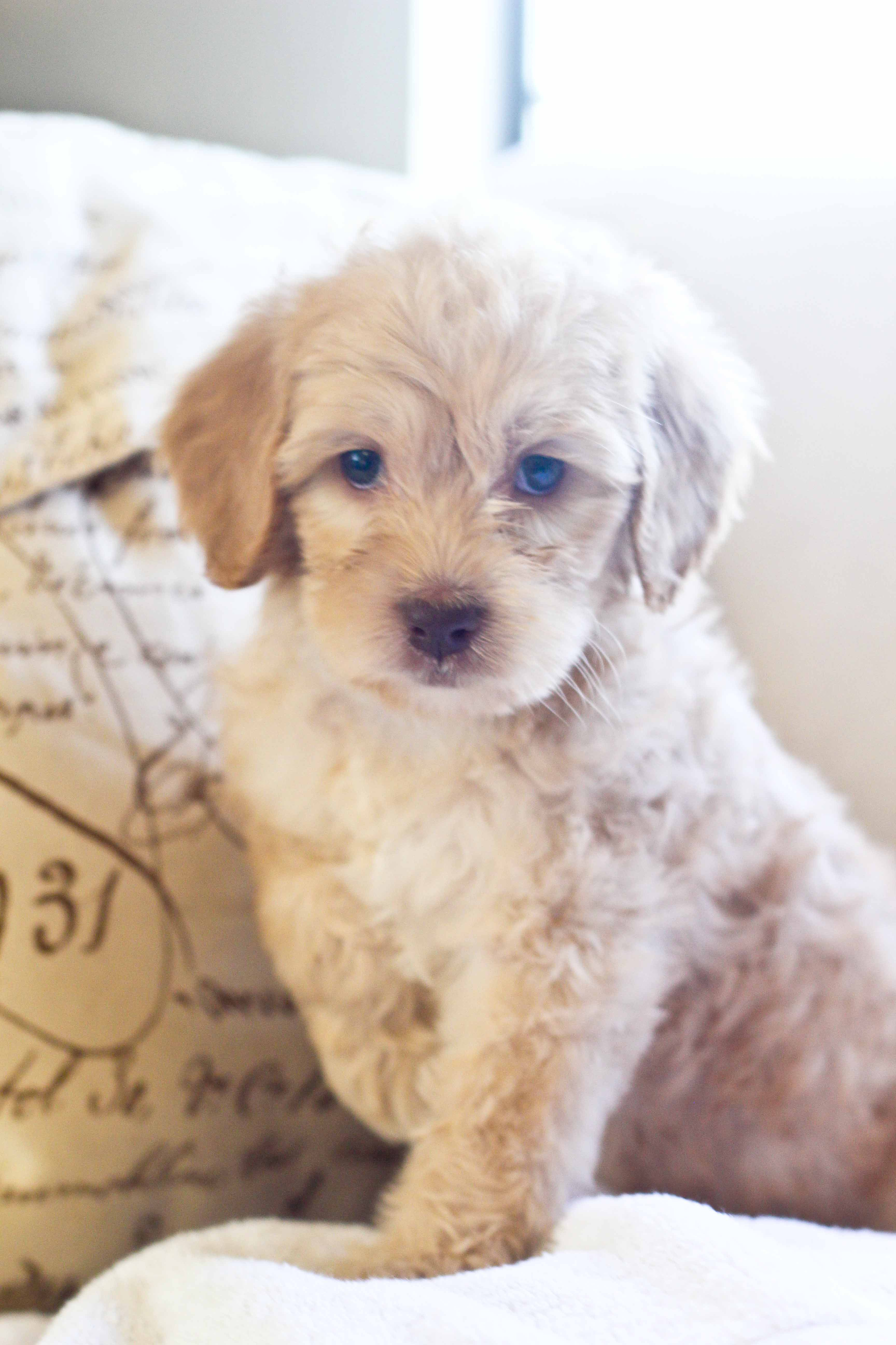 """""""Dreamer"""" Cream Australian Labradoodle puppy available for"""
