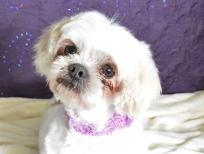 Meet Sydney A 8 Years 7 Months Lhasa Apso Available For Adoption In Colorado Springs Co Lhasa Apso Dogs Lhasa