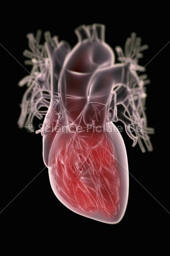 A Transparent Human Heart With The Internal Anatomy Highlighted In