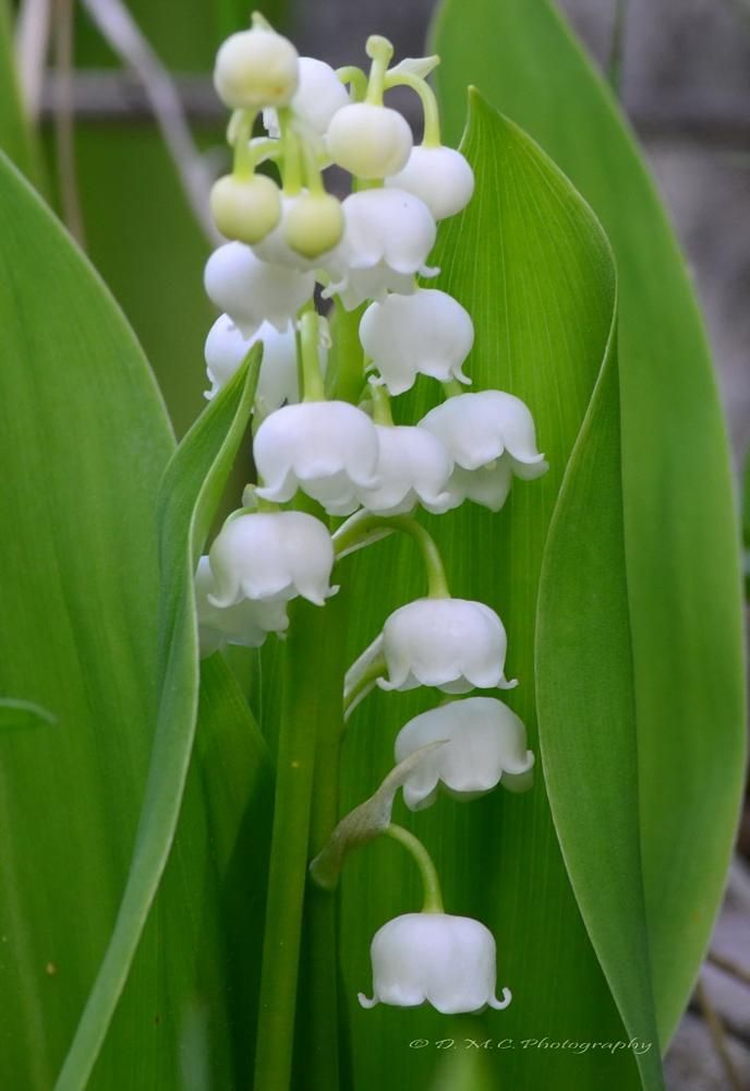 Lily-of-the-Valley by D M Camps Photography