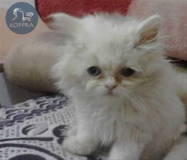 حيوانات في مصر اسعار قطط للبيع قطة لونها ابيض نوعها شيرازى للبيع عمره 47 يو Pets Pet Supplies Animals