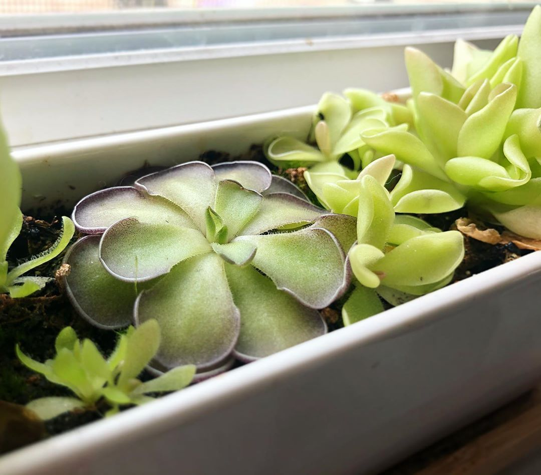 Who says carnivorous plants don't make good #houseplants ?! Windowsill Pinguicula keep gnats away, and delight aplenty! #gnats Who says carnivorous plants don't make good #houseplants ?! Windowsill Pinguicula keep gnats away, and delight aplenty! #gnats Who says carnivorous plants don't make good #houseplants ?! Windowsill Pinguicula keep gnats away, and delight aplenty! #gnats Who says carnivorous plants don't make good #houseplants ?! Windowsill Pinguicula keep gnats away, and delight #gnats