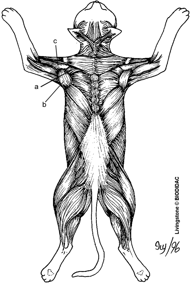 Color the muscles of the cat (dorsal side.) nursing