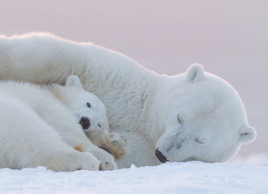 Pin By Marie Fiore On Animals With Images Polar Bear Animal