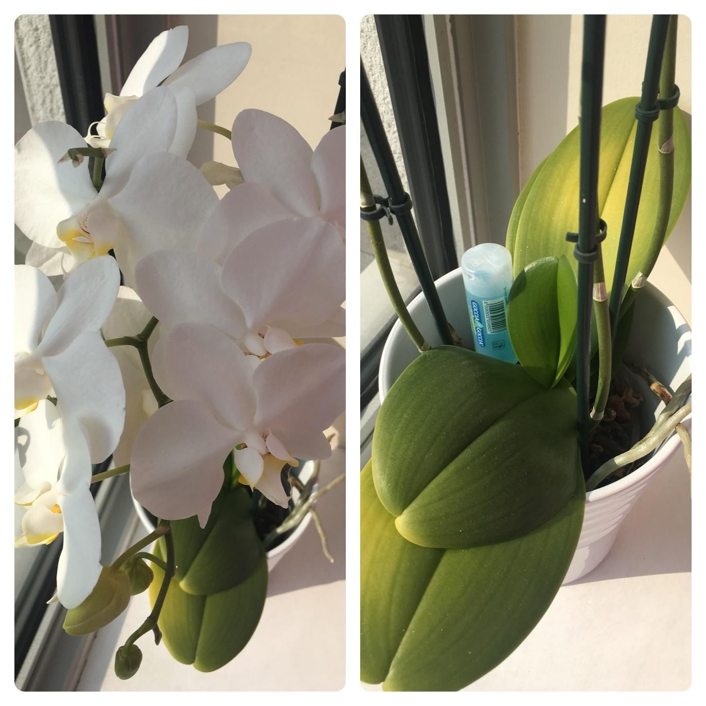 My Orchid Has Been Blooming And Has Had Beautiful Flowers For The Last 4 Months However The Leaves Are Turning Yellow Any Idea Why Orchid Leaves Turning Yellow