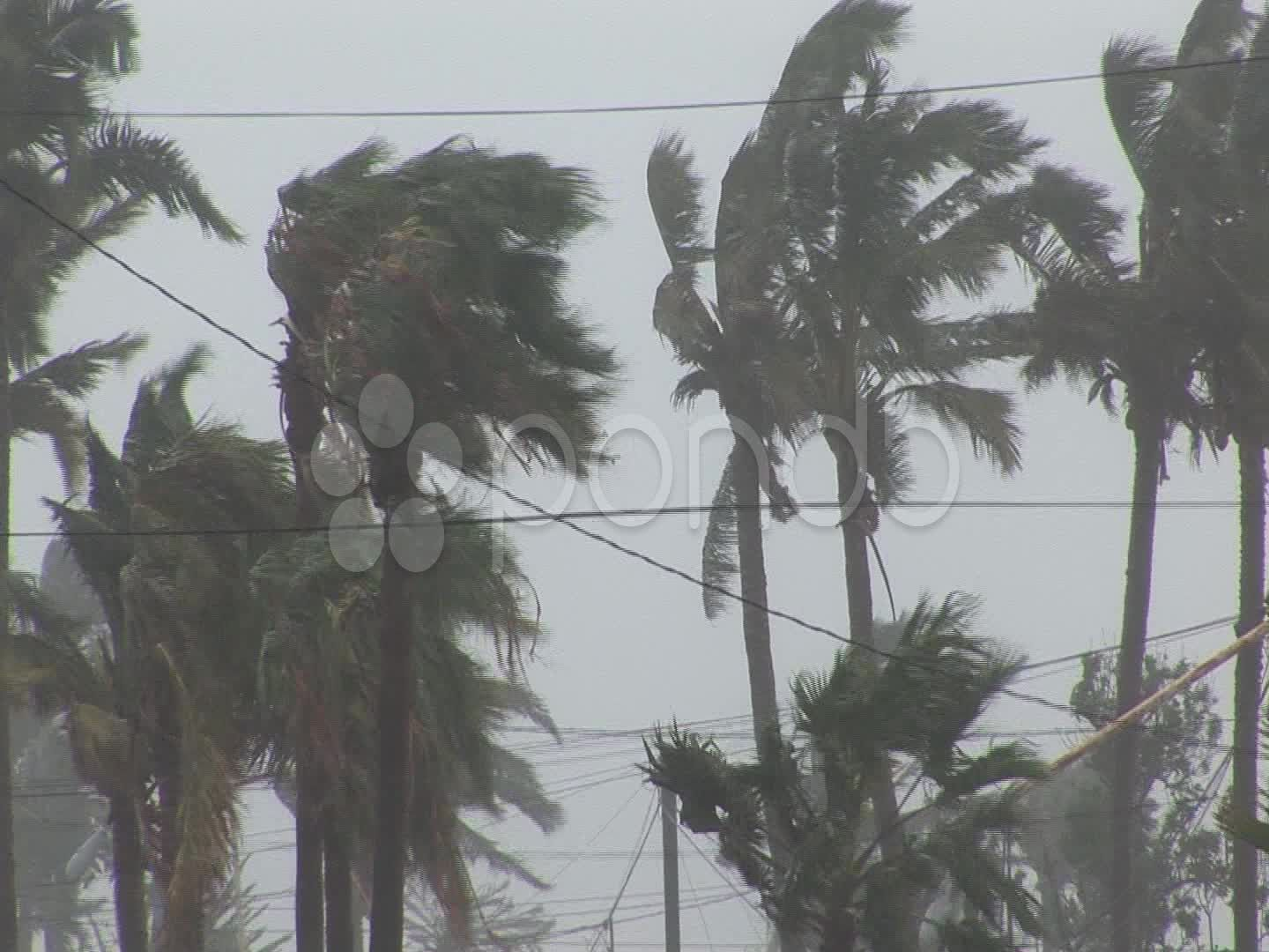 Hurricane Wind Palm Trees Stock Footage Palm Wind Hurricane Footage Hurricane Winds Palm Trees Tree