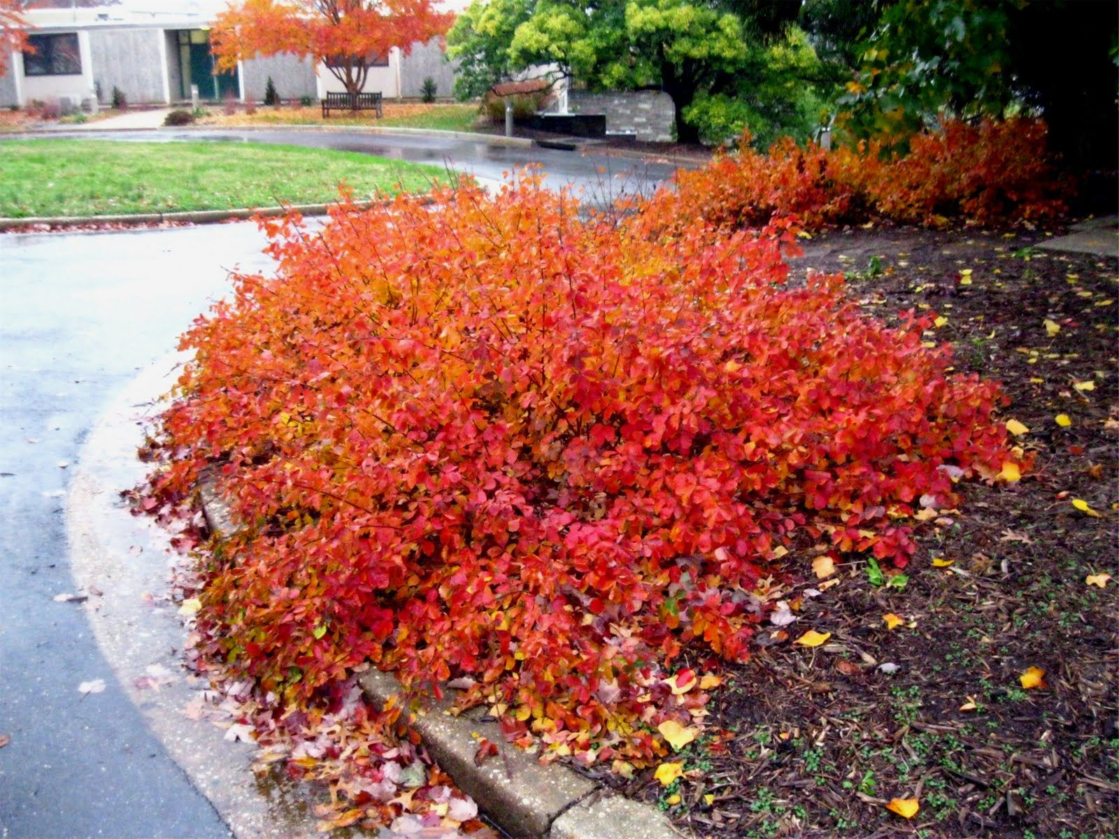 Rhus aromatica 39 gro low 39 gro low fragrant sumac omg for Low growing plants for landscaping