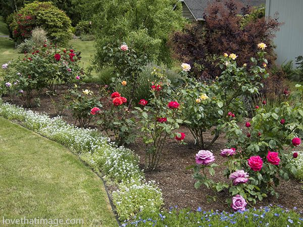 Roses Blooming In A Seattle Front Yard Garden With Images 400 x 300