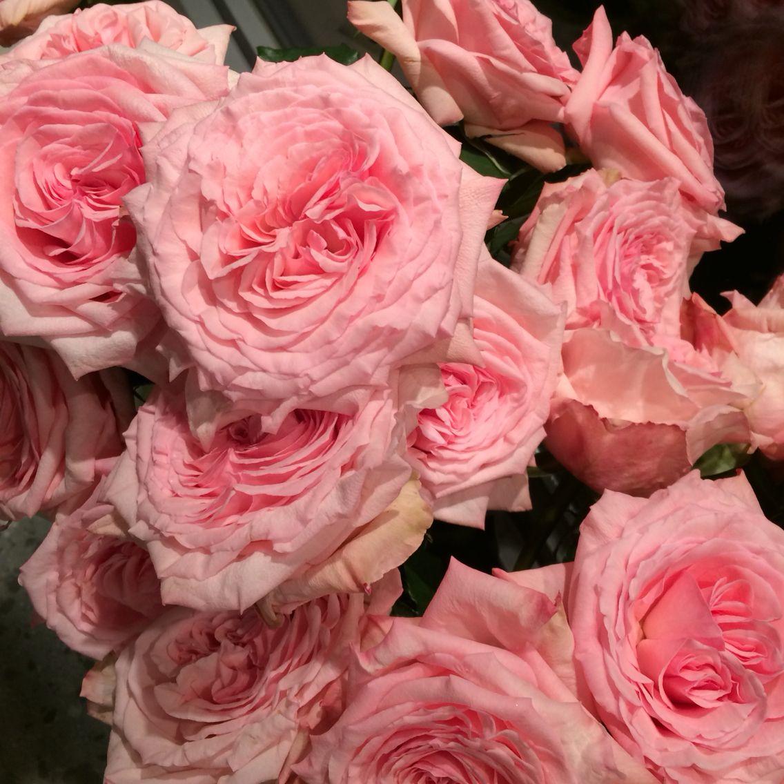 Pink O Hara Roses Flowers Beautiful Roses Wonderful Flowers