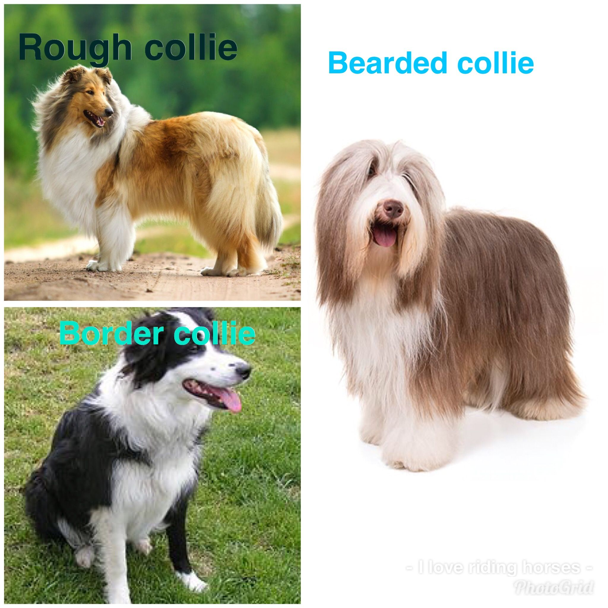 Rough Collie Border Collie Bearded Collie I Love Collies