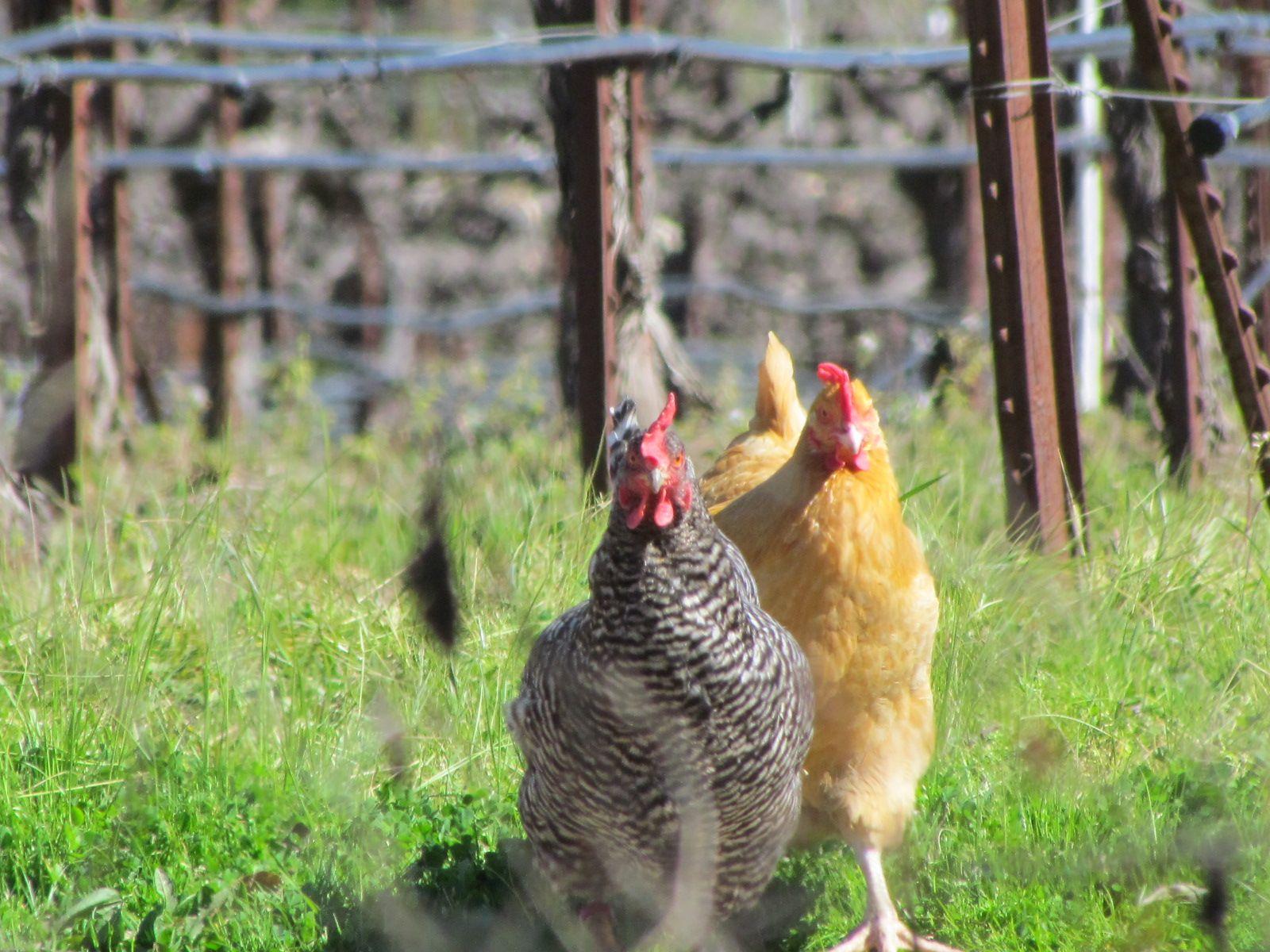 the girls.   Free range chickens, Chickens backyard breeds ...
