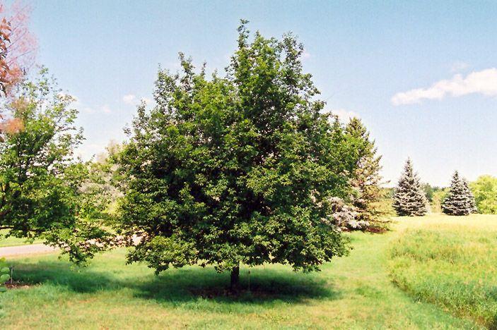 Hop Hornbeam (Ostrya virginiana) at Lurvey Garden Center | front ...