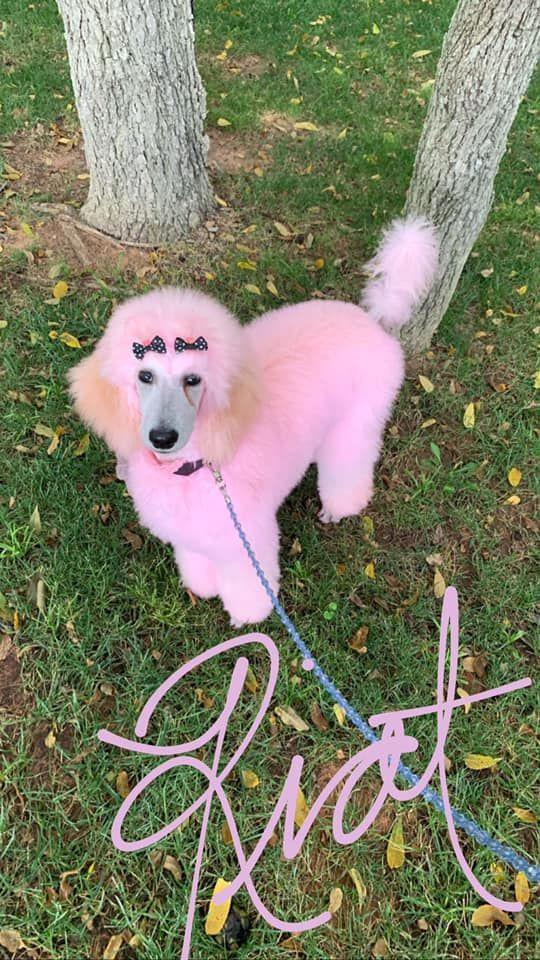 Dog Hair Dye Ardent Orange Pd02 Opawz Creative Grooming Dog