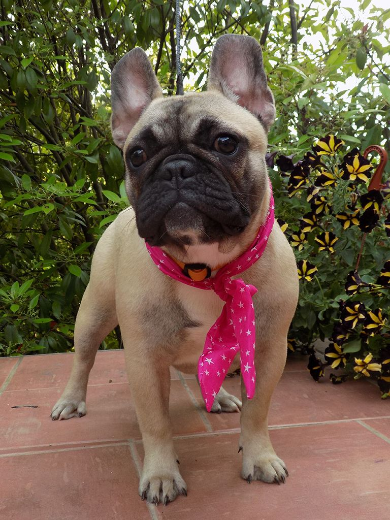 French Bulldog For Sale Purchase A French Bulldog Puppy Bulldog Puppies For Sale Bulldog Bulldog Puppies