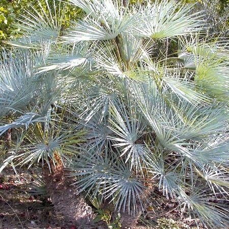 Palmier Nain Cerifera Palmier Nain Palmiers Et Plante Jardin