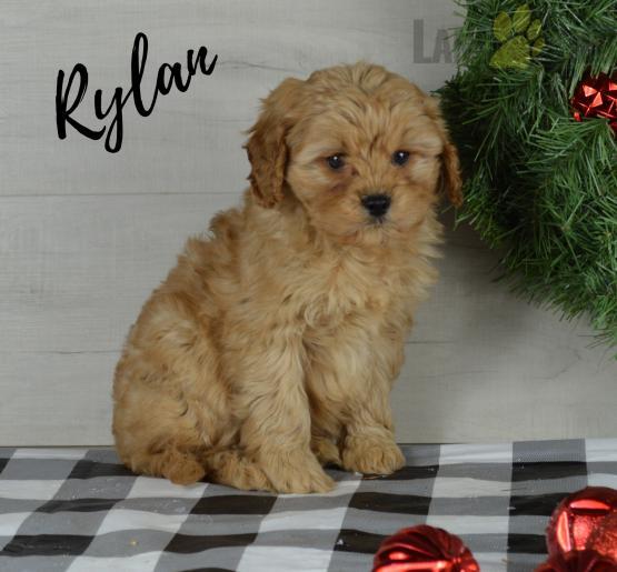 Rylan Cavapoo Puppy for Sale in Millersburg, OH