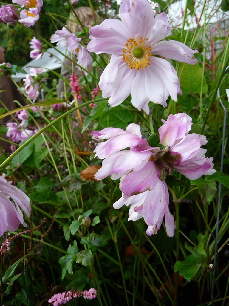Anémone 'Mount Rose' (ou 'Mont Rose' ?)  http://www.pariscotejardin.fr/2012/10/anemone-mount-rose-ou-mont-rose/